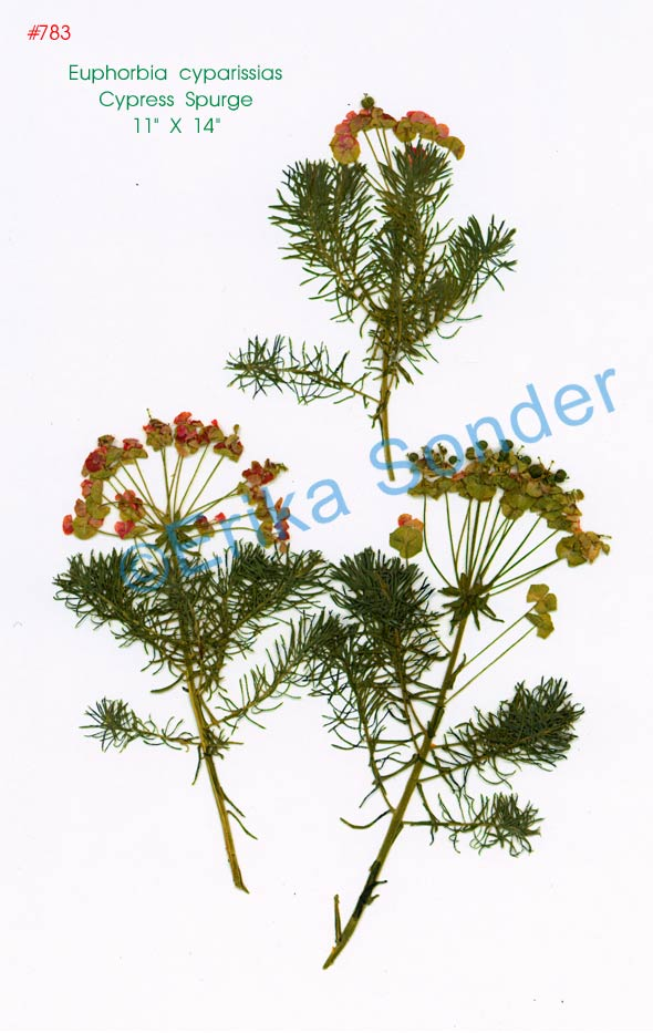 Euphorbia-cyparissias